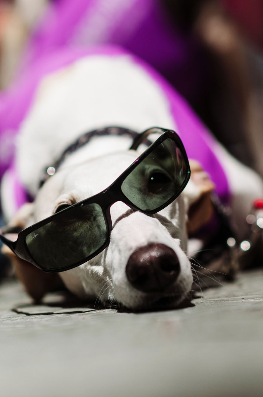 Galgo dog with sunglasses at SOS Golgos event in Barcelona